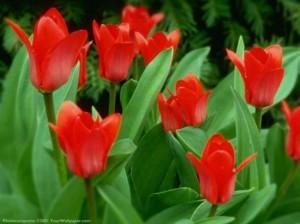 tulips11280-47h8bxe21-eclh6